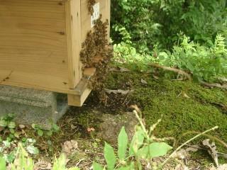 西洋ミツバチが峰球を作ってスズメバチを熱死?させた