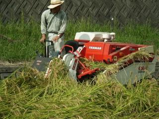雨の前に稲刈りしました