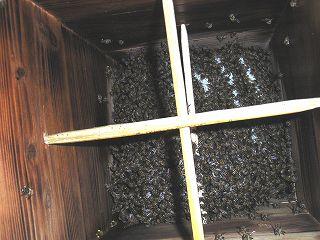 分蜂後8週間目(56日後)の巣箱の中