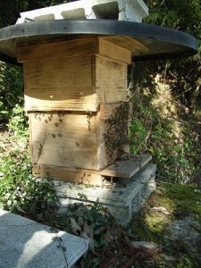 飼育箱に入れた日本ミツバチ