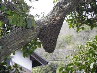 バベの木に集結した日本蜜蜂の分蜂群