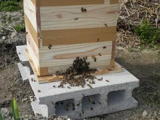 分蜂群を入れた巣箱に残りの蜂が入って行く