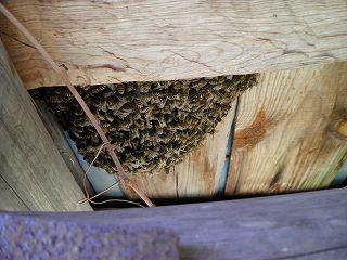 小屋の屋根の下に分蜂した日本ミツバチ