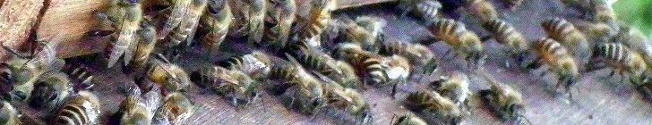 日本蜜蜂の扇風行動の写真